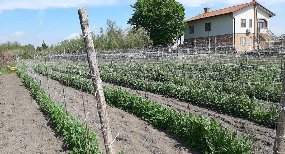 resTour_Ingredienti-giugno-piselli-piante